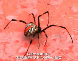 セアカゴケグモの画像 p1_4