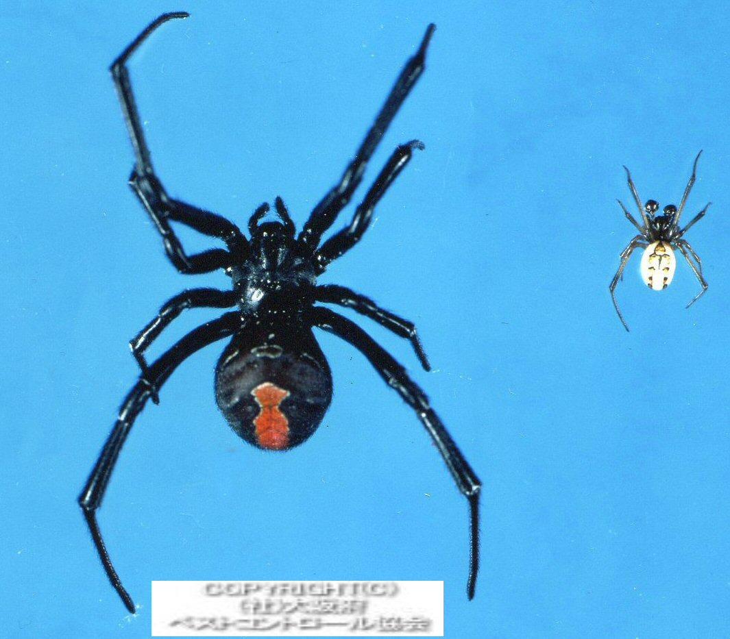 セアカゴケグモの画像 p1_1